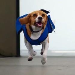 un chien employé par la compagnie aérienne KLM