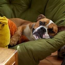 chien malade, bulldog