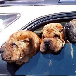 chien malade voiture