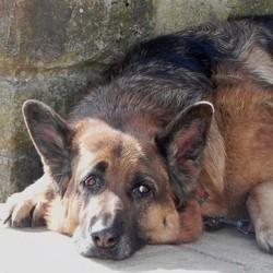 très fidèle, un chien rend hommage à sa défunte maîtresse