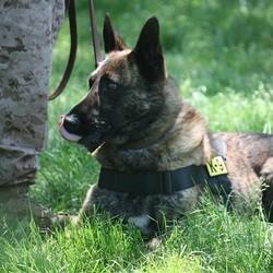 chien militaire