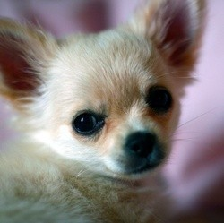 chiens minis toys chihuahua