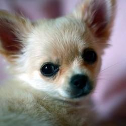 chiens minis toys chihuahua