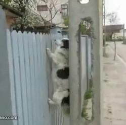 chien monte mur rentre maison