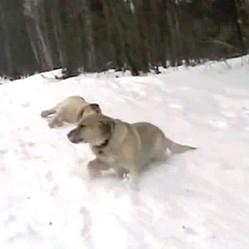 chien luge neige video
