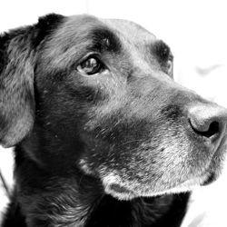 labrador chien obèse surpoids
