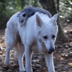 Photo chien et opossum