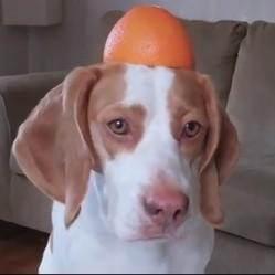 un chien joue avec une orange