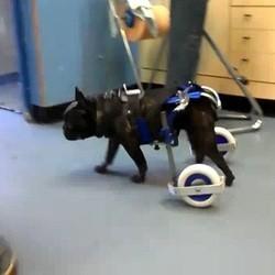 paralysie chien remarche chariot kerdog