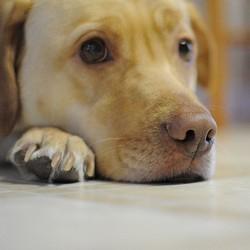 soigner coupure coussinet chien