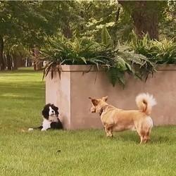 Des chiens piégés par une peluche
