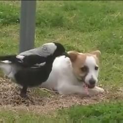un chien joue avec une pie
