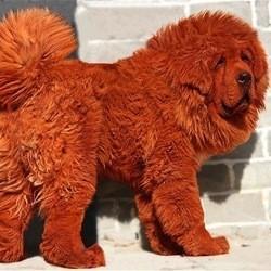 chien plus cher du monde big splash chine