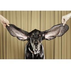 chien oreilles plus longues monde guinness book
