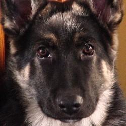 berger allemand chien policier tué