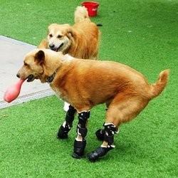 chien prothèses de pattes amputation