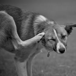 puces tiques chien parasites