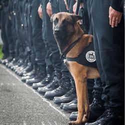 chien raid, chien policier