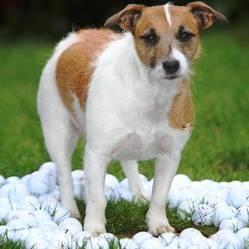 chien ramasse balles de golf