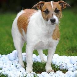 http://static.wamiz.fr/images/news/medium/chien-ramasse-balles-golf.jpg