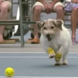 chien ramsseur de balles de tennis