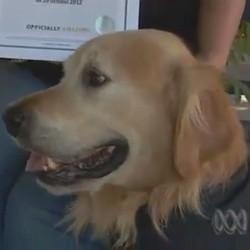Un Labrador bat le record de l'aboiement le plus fort du monde