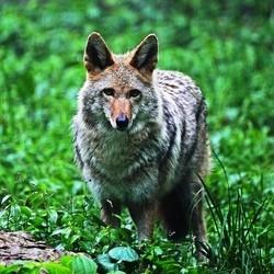 refuge pour chien coyote