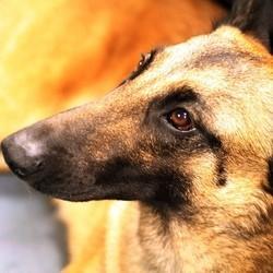 chien renifleur cancer prostate Aspirant
