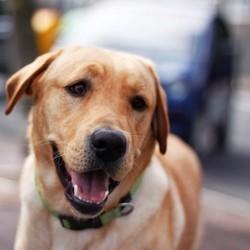 chien perdu retrouvé à 4000 km
