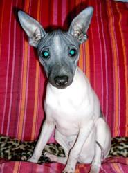nouvelle race de chien : american hairless terrier