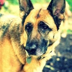 berger allemand chien héros