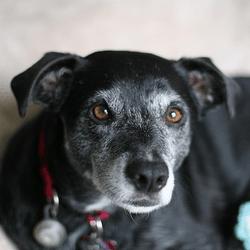 chien senior