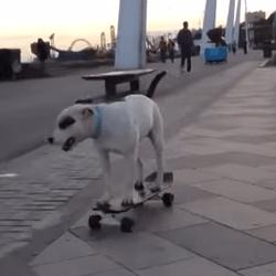 Chien en skate-board