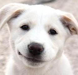 chien qui sourit shiba inu