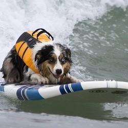 chien surfeur