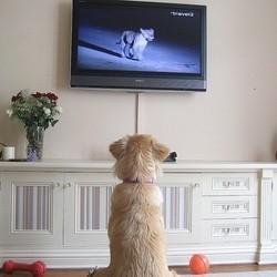 chien regarde la télé