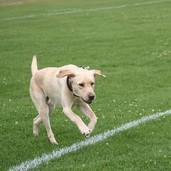 un chien sur un terrain de foot