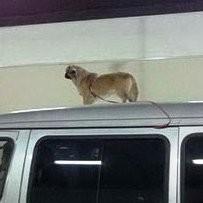 chien toit voiture