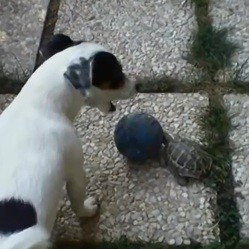 Un chien et une tortue jouent au foot