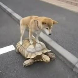 un chien sur une tortue