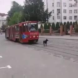 un chien refuse de laisser passer le tramway