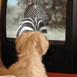 chien télé