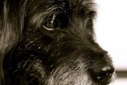 plus vieux chien