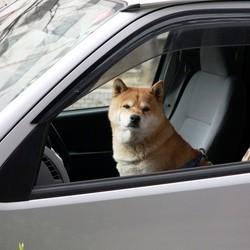 voiture chien coup de chaleur canicule