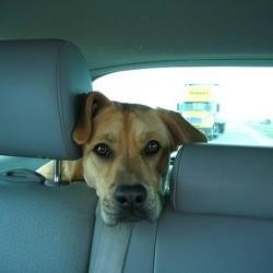 chien voyage en voiture