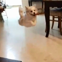 un chien rate son saut