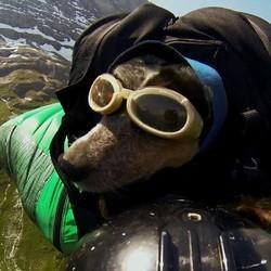 ce chien fait du saut en wingsuit avec son maître