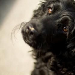 hygiène oculaire animaux nettoyer les yeux de son chien