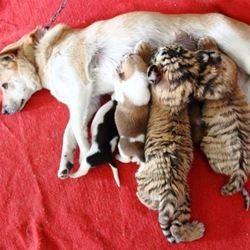 une chienne adopte des bébés tigres de Sibérie