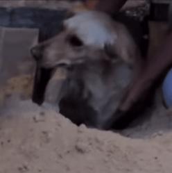 chienne errante enterrée vivante